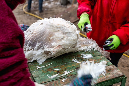 The process of removing feathers from a dead turkey. Slaughter and plucking a turkey