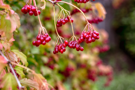 Red viburnum berries on a tree in autumn.