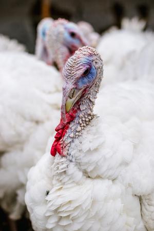 Breeding turkeys on a farm