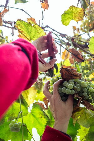 Harvesting grapes in the vineyard