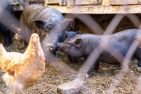Vietnamese pigs behind a mesh fence on a farm.