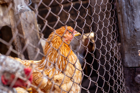 Portrait of a chicken behind a metal mesh on a farm.