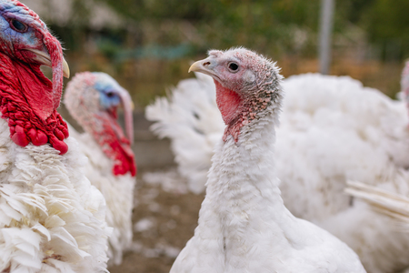 Breeding turkeys on a farm