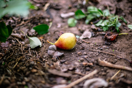 Rotten pear on the ground