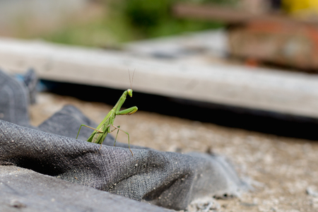European Mantis or Praying Mantis, Mantis religiosa