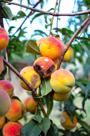 Rotten peaches on a tree Stock Photo