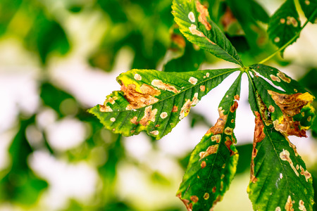Sick horse chestnut leaves in summer