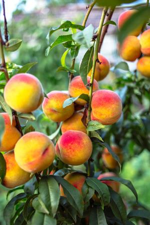 Beautiful ripe peaches on a tree