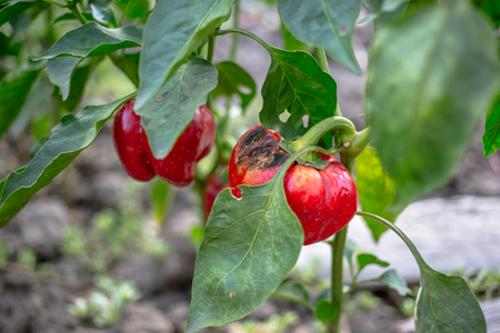 Rotten red bell pepper in the garden Stock Photo