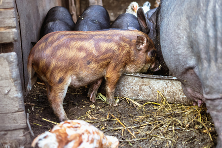 Feeding vietnamese pigs and chickens on the farm