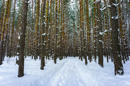 Snow road in the pine forest in winter.