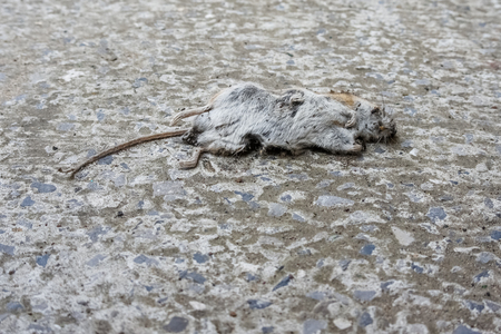 The dead mouse lies on the concrete floor Stock Photo