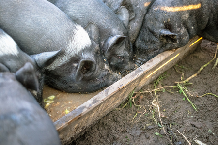 Small black pigs eat from a wooden trough 스톡 콘텐츠