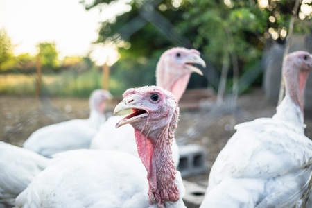 Large white turkeys behind the grid on a rural farm