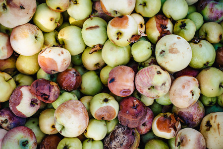 Background of a lot of bad apples. A bunch of red, green, yellow and brown rotten apples for design.