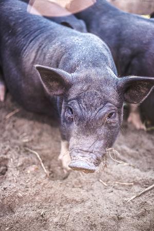 Black Vietnamese pigs on the farm Stock Photo