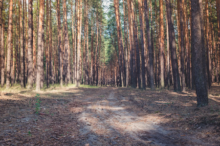 The road in the pine forest in the summer