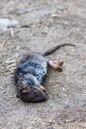 The dead rat lies on the ground. 写真素材