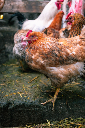 Chickens on the farm. Toned, style, color photo