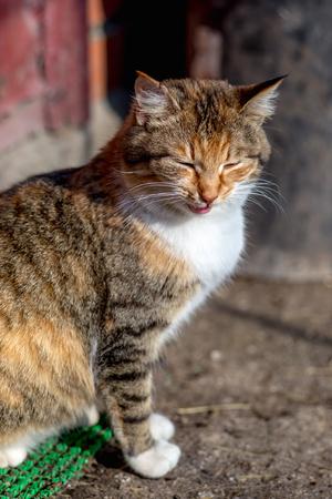 Portrait of a red rural cat 版權商用圖片