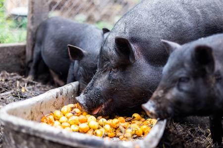 Les porcs noirs vietnamiens à la ferme mangent des abricots de l'auge Banque d'images