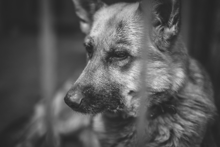A big sad shepherd in an old aviary. Monochrome photo Stock Photo