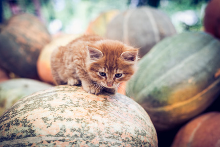 Cute red kitten sitting on a pile of pumpkins.