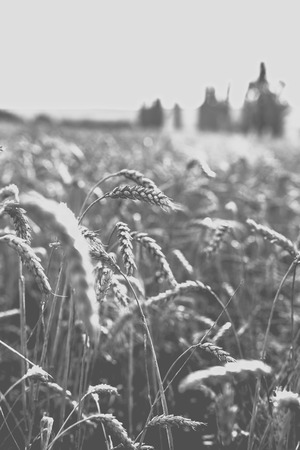 Wheat on the field. 写真素材