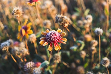 Schöne trockene Blume bedeckt mit Raureif Standard-Bild
