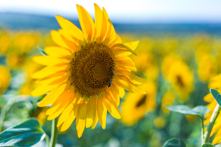 Beautiful sunflower field in the afternoon Banco de Imagens
