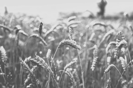 Wheat on the field. Plant, nature, rye. Rural summer field landscape. Monochrome photo Banque d'images