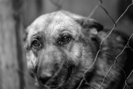 Un grand berger triste dans une vieille volière. Photo monochrome