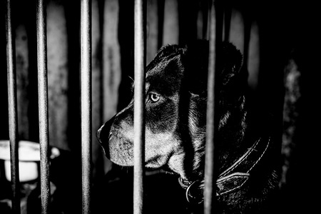 Little cute rottweiler puppy in an aviary. Monochrome photo. Фото со стока