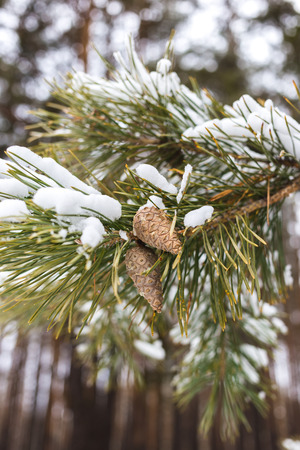 Cone on a branch in winter in a pine forest. Standard-Bild