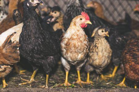 Hühner auf dem Bauernhof. Getönten, Stil, Farbfoto. Standard-Bild