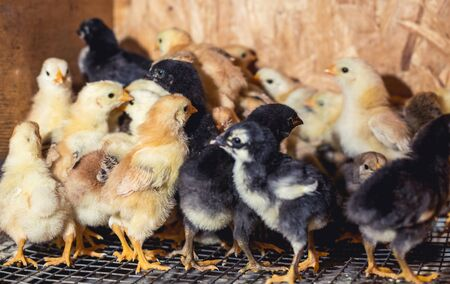 Little chickens in a brooder on the farm. Banco de Imagens