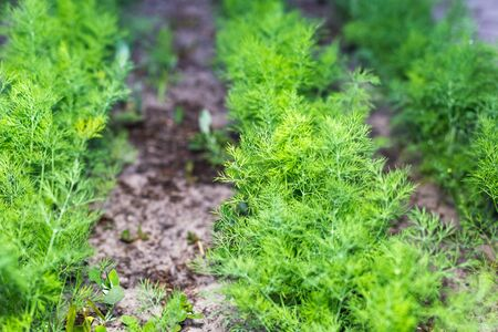 Rows of young dill in the garden.