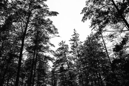 Monochrome photo of pine forest in winter.