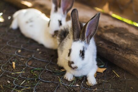 Breeding a large group of rabbits in a small shed 写真素材