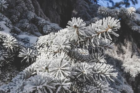 Beautiful spruce branch covered with hoar frost. Foto de archivo - 129846009
