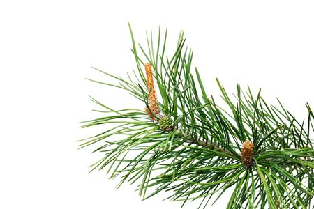 Spruce branch with young cones isolated on white background.
