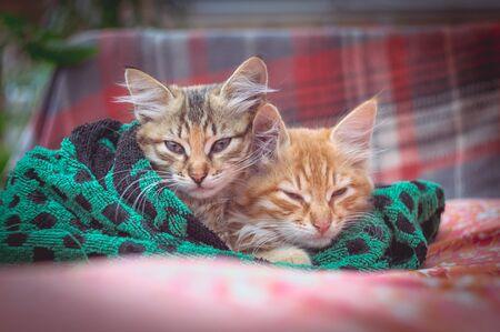 Two cute kittens in a towel. Фото со стока
