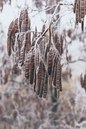 Acacia seeds covered with frost on a branch. Imagens