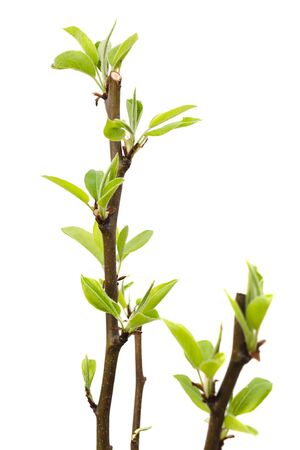 Young pear tree isolated on white background.