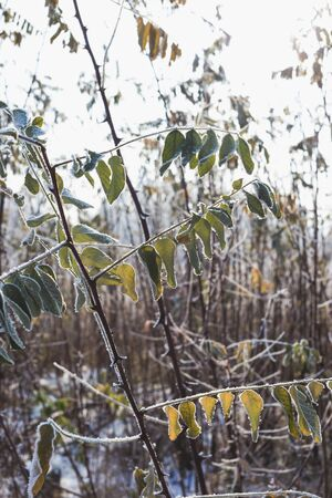 Leaves of acacia covered with hoarfrost. 版權商用圖片