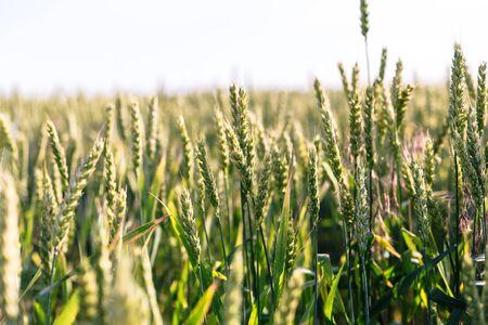 Trigo verde en el campo. Planta, naturaleza, centeno. Paisaje rural de campo de verano.