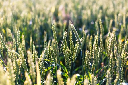 Green wheat on the field. Plant, nature, rye. Rural summer field landscape.