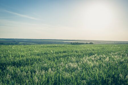 Field of young green oats at sunset.