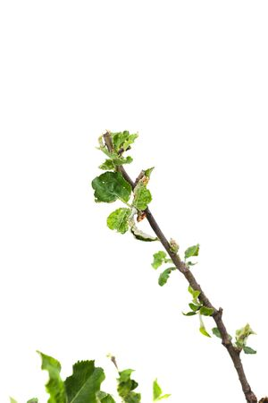 Young apple tree isolated on white background Imagens