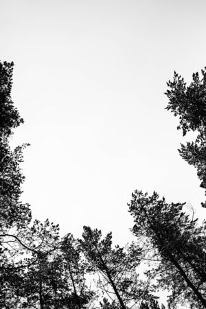 Monochrome photo of pine forest in winter. Foto de archivo - 129844175